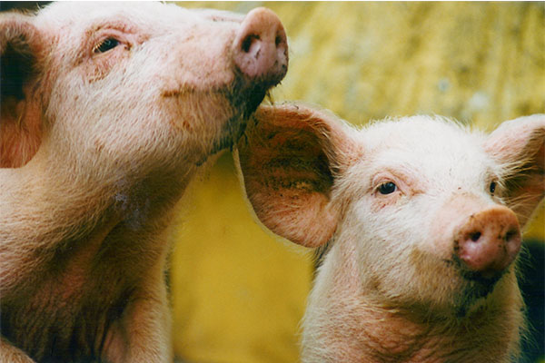 An Analysis of Recent Issues Faced by the Canadian Pork Industry