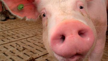 Pig in a farm